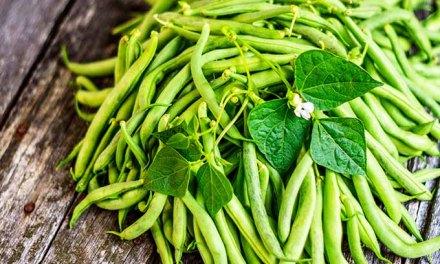 Fine Beans Farming in Zimbabwe