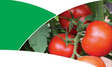 Trinity: The Tomato Variety Zimbabwean Farmers Are Talking About
