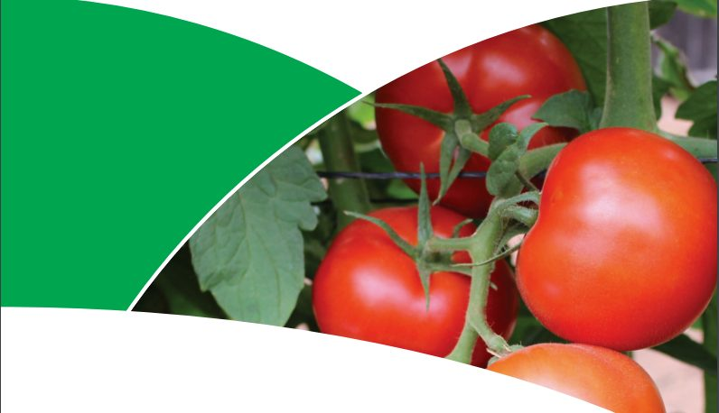 Trinity:The Tomato Variety Zimbabwean Farmers Are Talking About