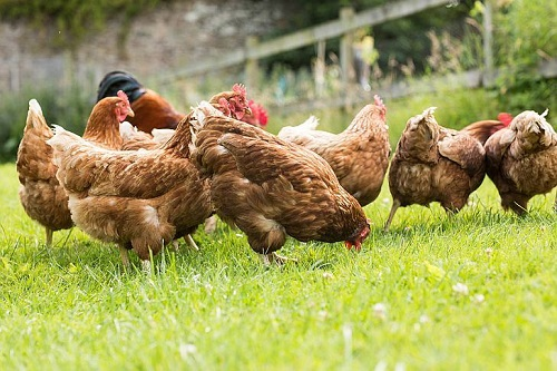 How to start a Roadrunner/Free range/Indigenous poultry chicken business in Zimbabwe and the Business Plan