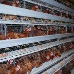 Starting Poultry Egg Farming Business Plan (PDF)