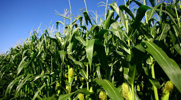 Starting Maize Farming Business Plan (PDF)