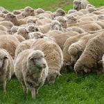 Starting Sheep Farming Business Plan (PDF)