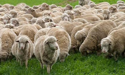 Starting Sheep Farming Business Plan (PDF)