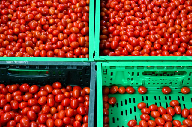 tomato farming business plan