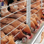 How To Start A Profitable Poultry Farming Business In Nigeria