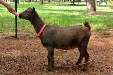 The Nigerian Dwarf Goat - Goat Farming In Nigeria