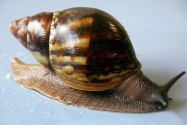 Archachatina Marginata