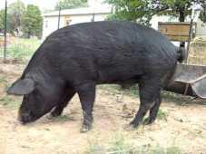 Mulefoot pig