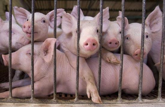How to start a lucrative pig farming business in Nigeria