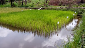 Swampy Rice Farmland - How To Start A Rice Farming Business In Nigeria Or Africa: The Complete Guide