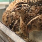 How To Start A Lucrative Quail Farming Business In Nigeria: The Complete Guide