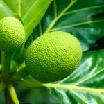 How to Start A Lucrative Breadfruit Farming (Ukwa) and Production Business In Nigeria: The Complete Guide