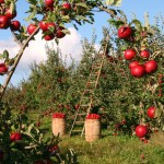 How To Start A Lucrative Apple Farming Business In Nigeria: The Complete Guide