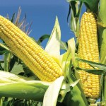 How To Start A Lucrative Maize Processing Business in Nigeria: The Complete Guide