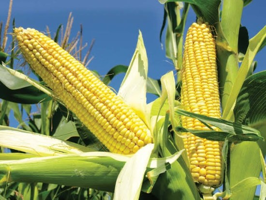 How To Start Maize Business in Nigeria or Africa: Complete Guide
