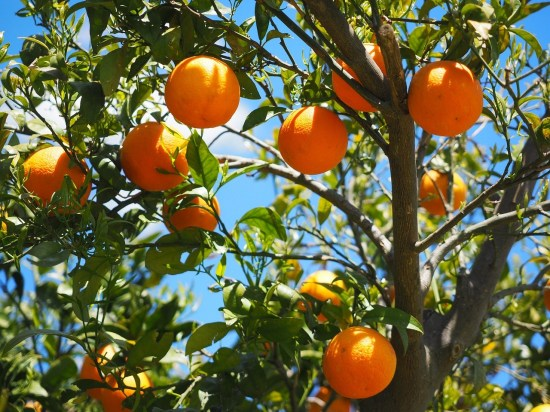 How To Start Orange Farming in Nigeria or Africa: Complete Guide