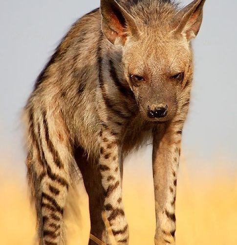 The striped hyena (Hyaena hyaena) is a species of true hyena native to North and…