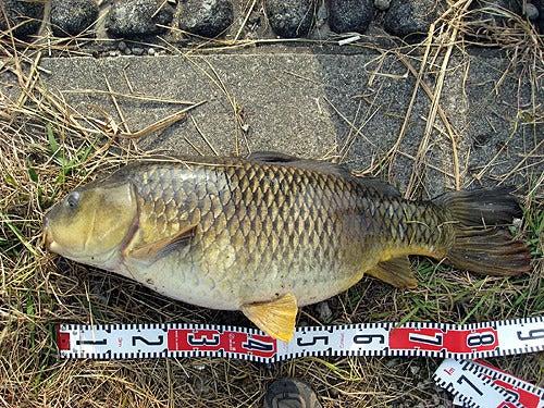 延竿に來たー!?って80オーバーの鯉でした。 | 魚釣ってます。