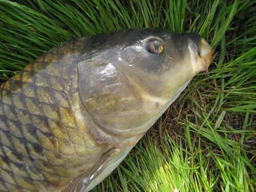 80センチぐらいの鯉 | 魚釣ってます。