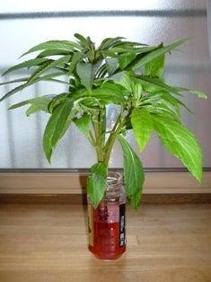 水は植物のどこを通るのか? | さばえ大好きキキのブログ