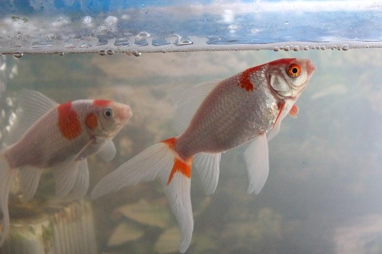 金魚、白濁の向こうに | 貓と野菜作りと白うずら