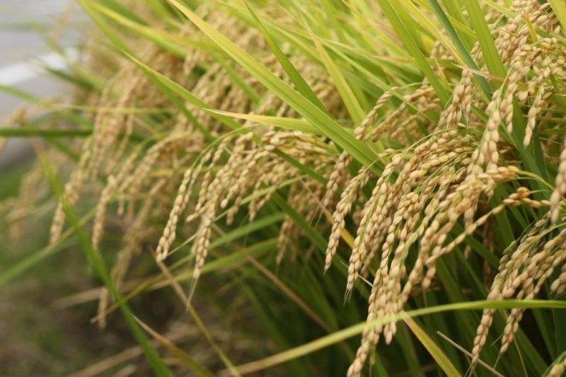 実るほど頭を垂れる稲穂かな   美味しいご飯(米)の炊き方教えます ごはんソムリエのブログ