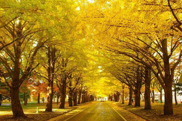 Image result for 北海道大学イチョウ