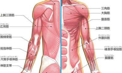 上半身筋肉図