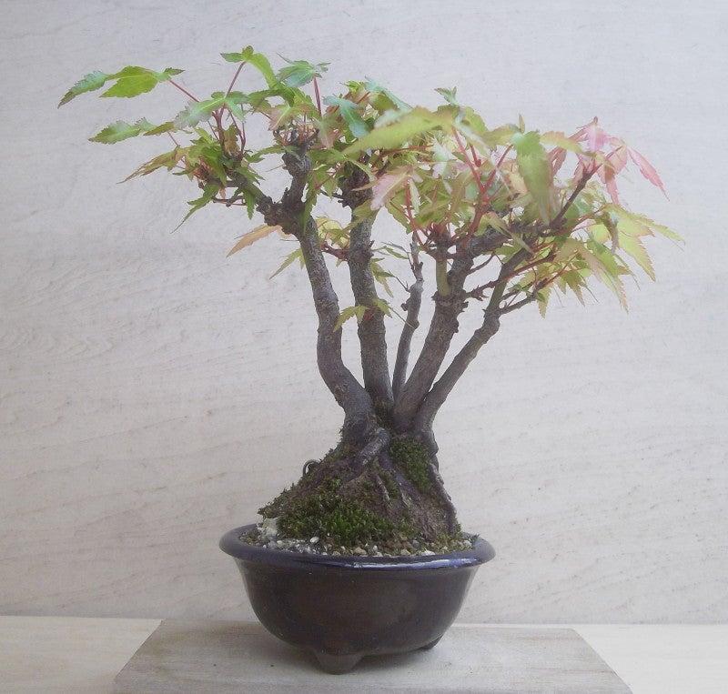 紅葉 寄せ植え | 小さな盆栽育てよう