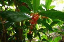 桂花-金木犀(キンモクセイ) | 東洋醫學健康會のブログ