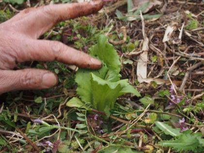 定植したレタス
