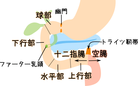 Images of 十二指腸 - JapaneseClass.jp