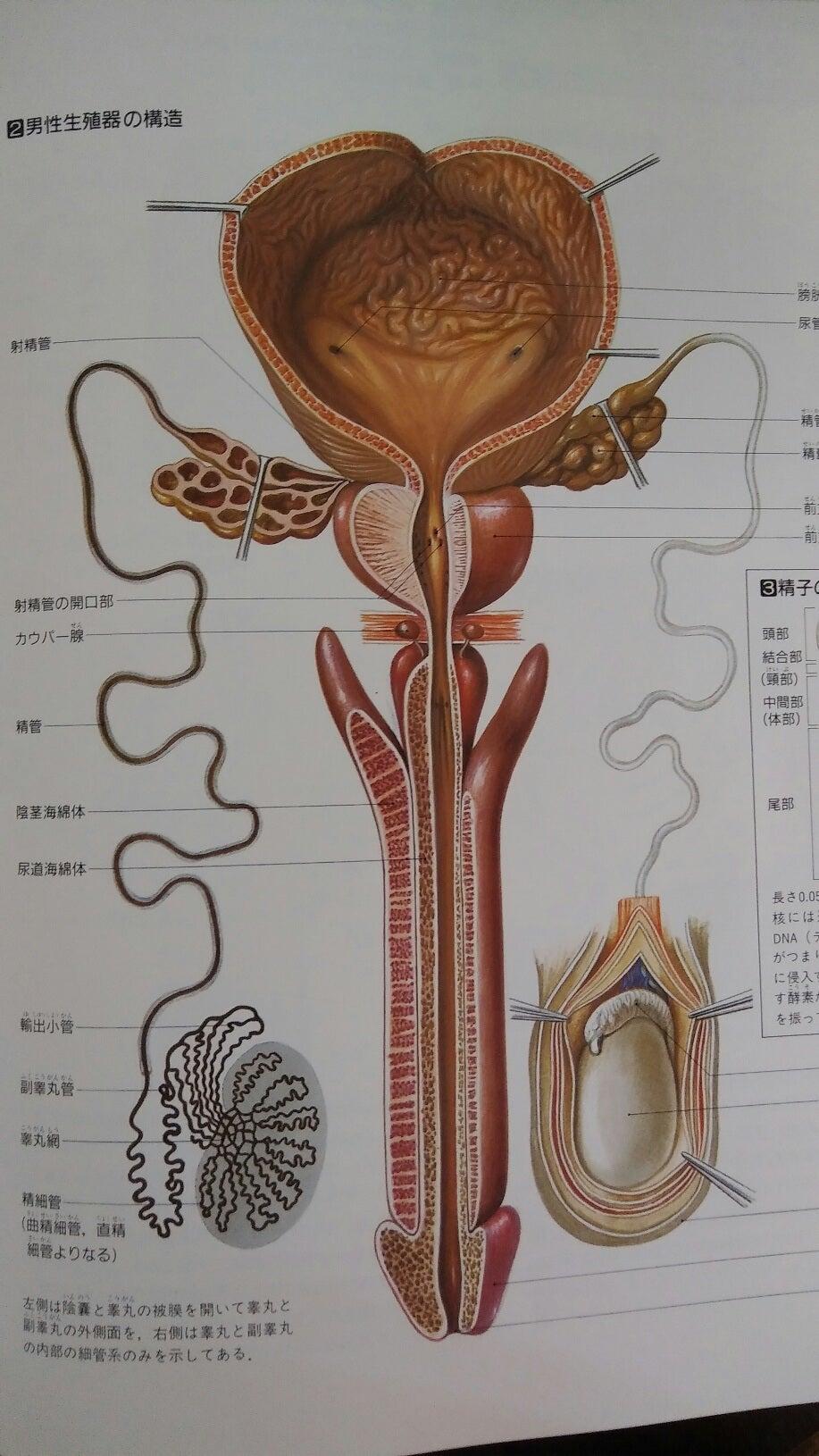 前立腺肥大と排尿障害は血流促進でのみ改善する | 體溫 免疫力 ...