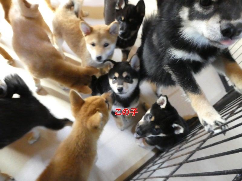 8月22日生まれ黒柴女の子の出発   Enjoy every day 柴犬専門犬舎 瑞蓮荘