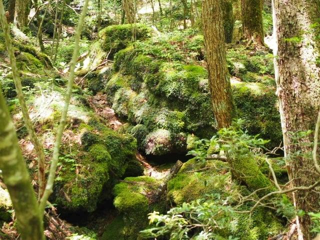富士山 青木ヶ原樹海を歩く   楓ふうの木