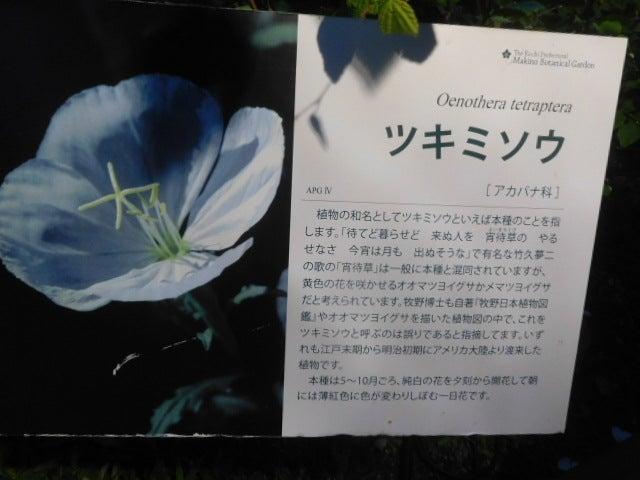 花は夜開く〜♪@夜の牧野植物園 | 野の花のお気楽日記