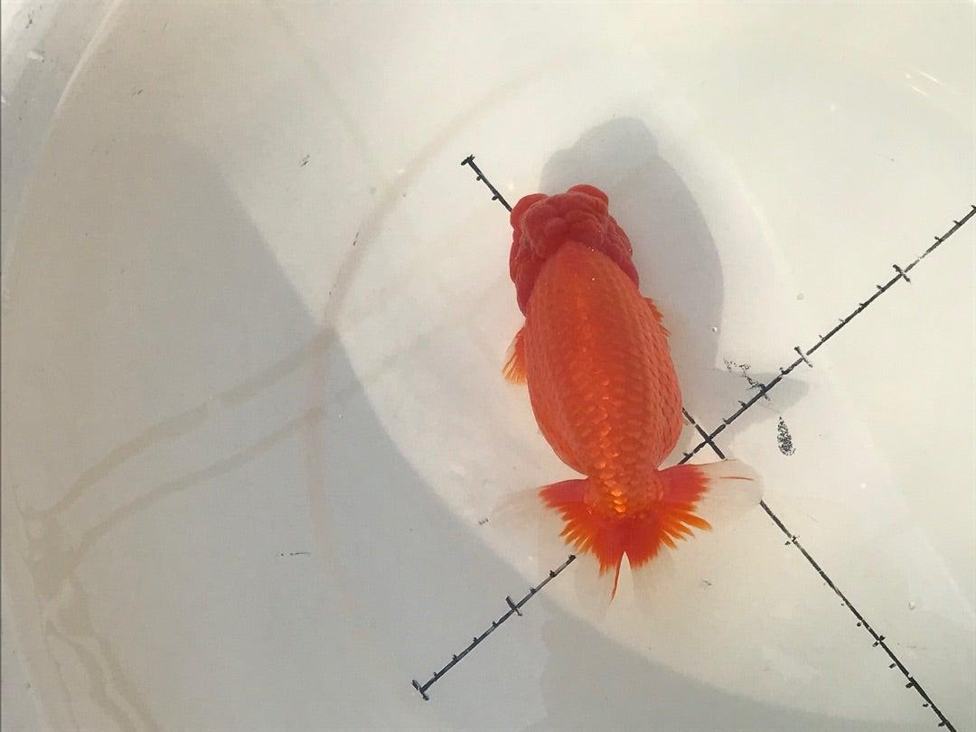 種親魚候補 | なおちん金魚