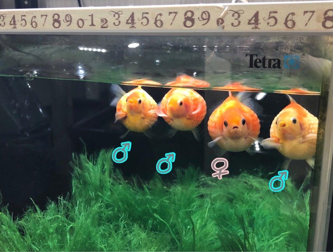 金魚の卵 受精卵の経過記録 | やさしいきんぎょ