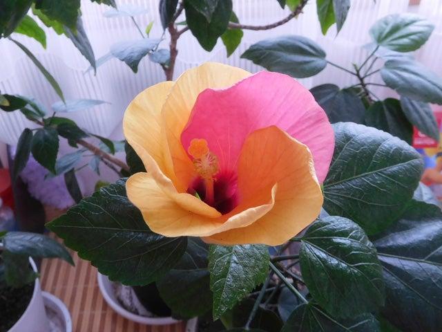 花びら1枚だけピンク!・・・の「黃色いハイビスカス」 | <花鳥風月&RCヘリ> ~ コプターん家の小さな ...