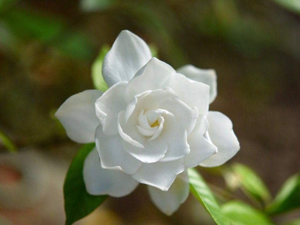 【誕生花】7月7日クチナシの花言葉 | オリジナルなプレゼントがつくれる山本彩代のフラワーアレンジメント ...