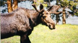 Moose, by Alberta Armstrong, via Flickr.com, under Creative Commons License.