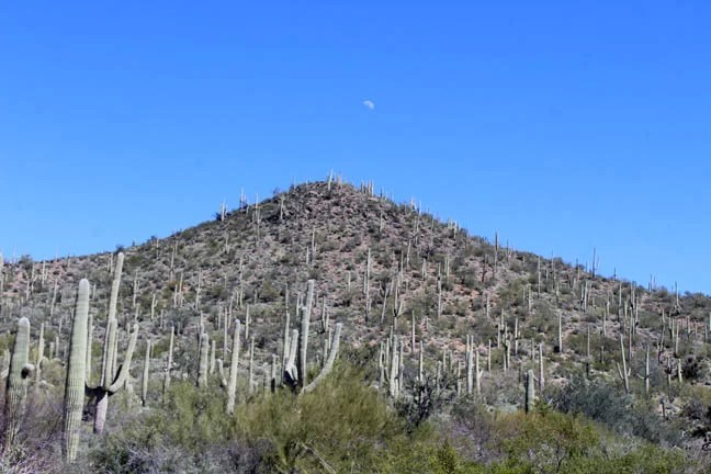 a hill filled with saguaro cacti