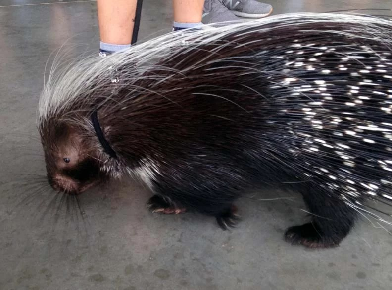 upclose shot of an African Porcupine