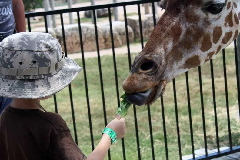 a boy feeding a giraffe