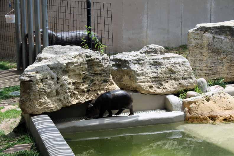 -baby-hippo