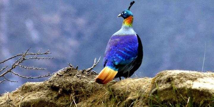 Daphne Bird Dhorpatan Nepal