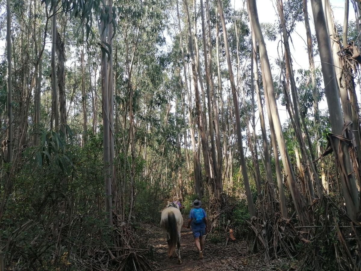 Walking with horses in a eucaliptus forest
