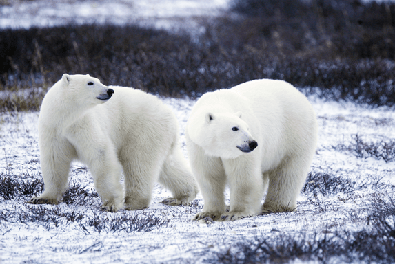 """Polar Bear Pair"" by Gary Kramer licensed under CC BY 2.0"
