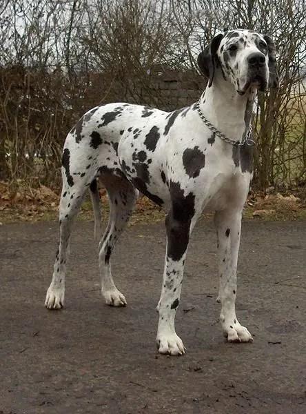pennsylvania state dog great